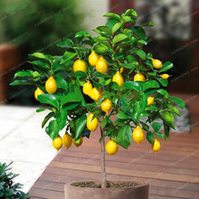 10 Pcs Lemon Seeds Delicious Potted Organic Fruit Seeds High Survival Rate Fruit Lemon Tree For Home Garden Healthy Food