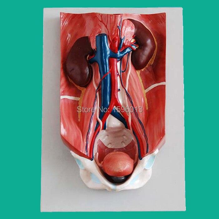 Анатомическая модель мочевыделительной системы 4 запчасти