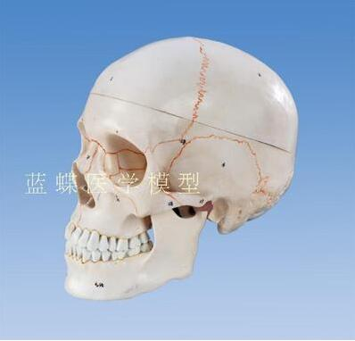 A comparison of a medical simulation skull model head skull anatomical specimen digital coding identification цена