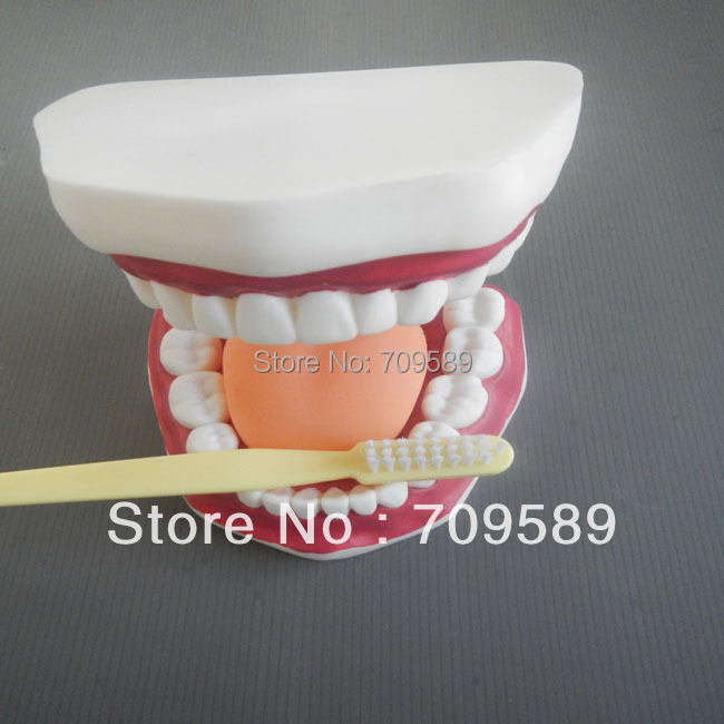 Dental care model,Oral care model ,Whole sale and retail dental caries model oral care