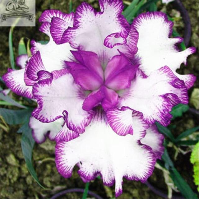 50 pz Bonsai Iris Fiore Perennia Fiore Raro Fiore barbuto iris, La Natura piante