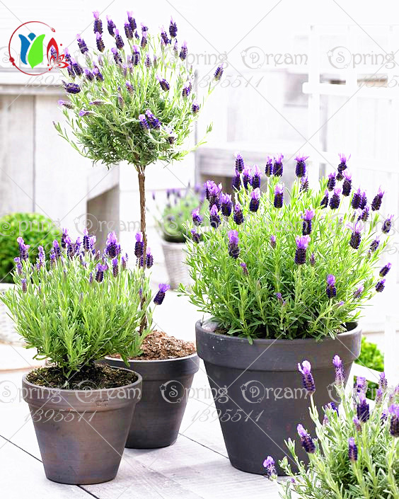200pcs bag french provence lavender seeds fragrant organic - Planters contact provence ...