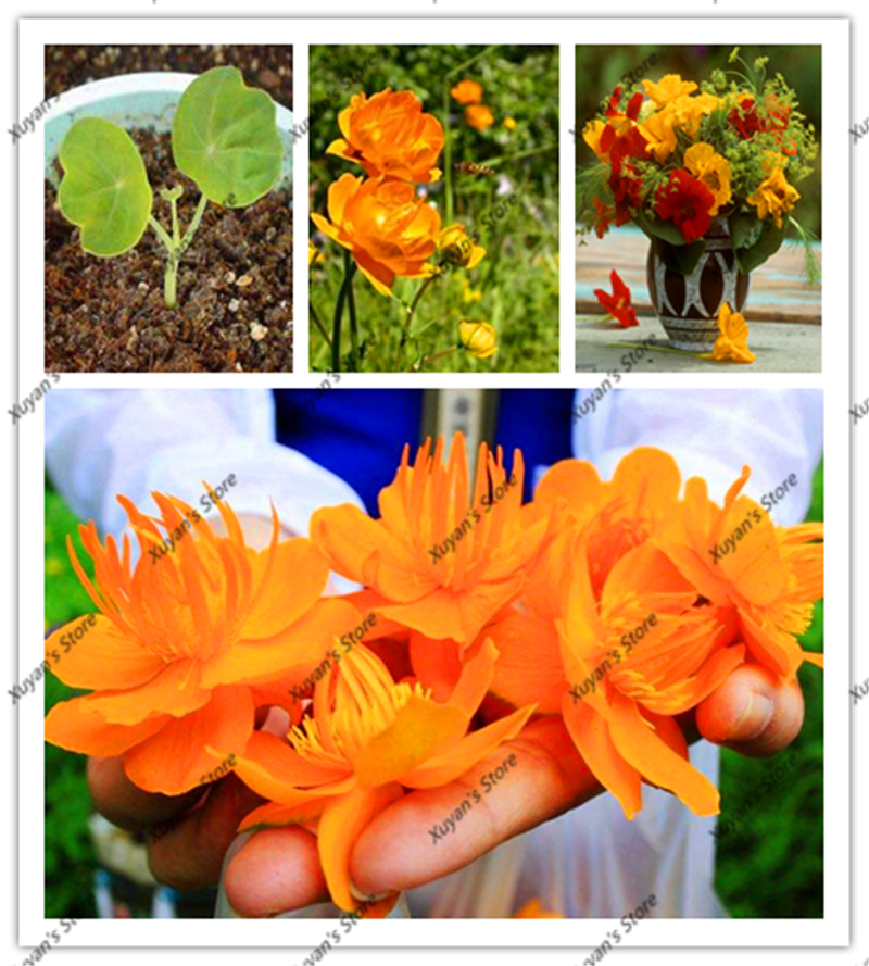 20pcs Drought Jinlian Trollius Chinensis Seeds lotus flower seeds perennial potted plant seeds for home garden