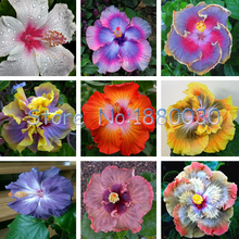 ФОТО beautiful 24 different colors japanese bonsai potted hibiscus seed courtyard garden flowers 50pcs