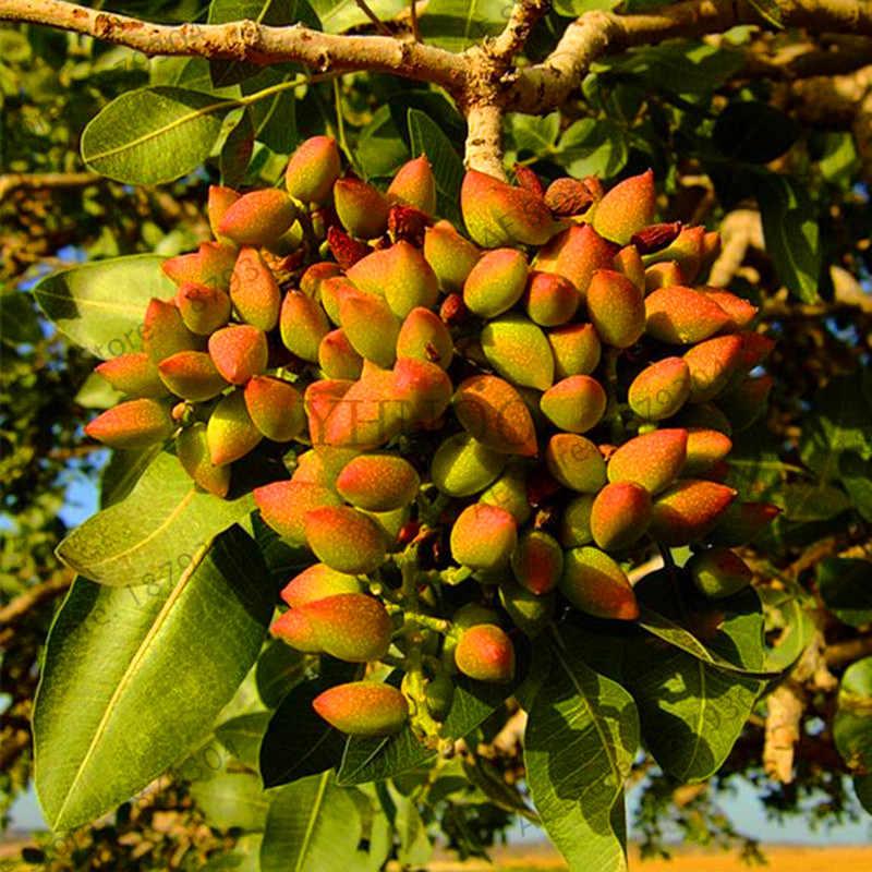 เวลาจำกัด!! Nut tree Pistachios สวนจีน Pistacia หายากกลางแจ้งผลไม้ flores tropical plant bonsai plantas 5 ชิ้น/ถุง, #