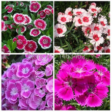 Garden Easy Grow plant bonsai Colorful carnations Flower Seeds (Mixed colors) 50 particles free shipping
