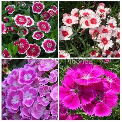 ogrd atwy rozwijaj rolin bonsai kolorowe godzikw nasiona kwiatw mieszane kolory 50 czstki darmowa - Carnation Flower Colors