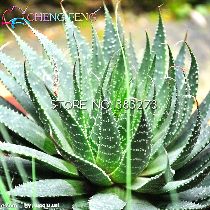 New sale 20 aloe seeds mix excellent houseplants succulent - Aloe vera plante utilisation ...