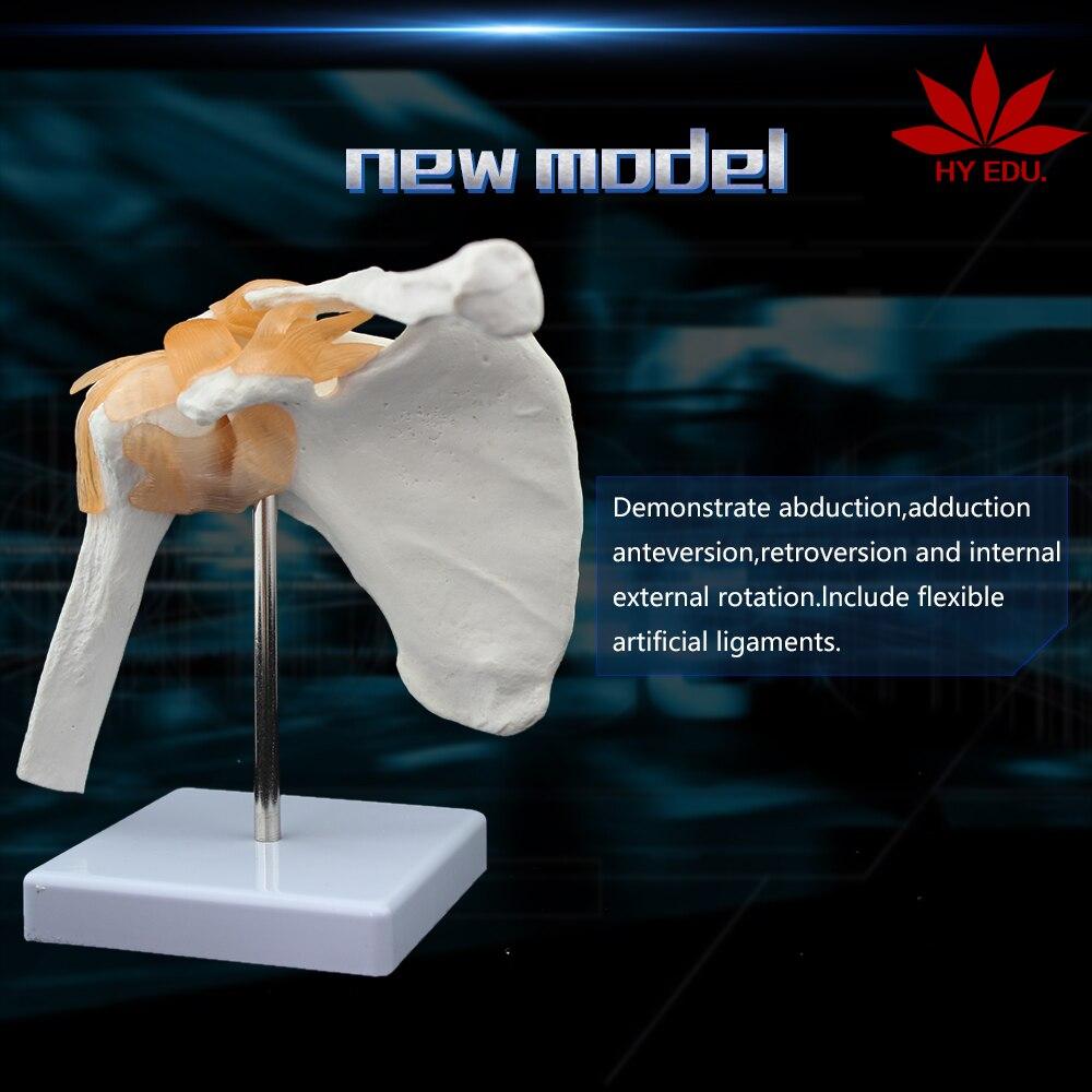 medical science subject and human anatomical simulation skeleton model Life size Shoulder Joint model
