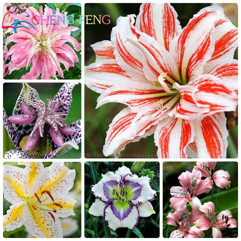 BONSAI 100pcs Daylily Flowers Rare Colour Hybrid Lily Chinese Herbal Perennial Edible Plant Home Garden supplies Decoration