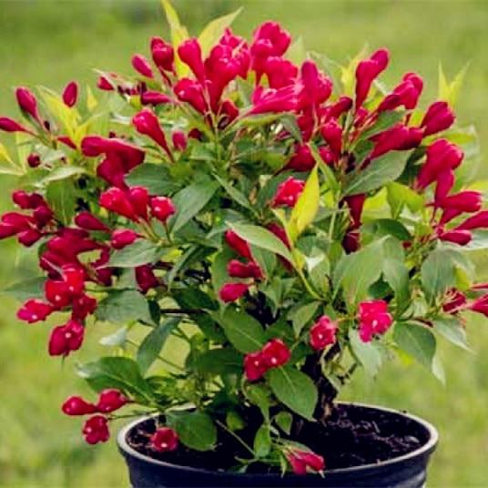 Schöne Weigela Florida Blume Bonsai Seltene Mischen Einzigartige