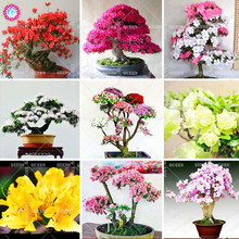 200 Pcs/bag Rare Bonsai 12 Varieties Azalea Seeds DIY Home & Garden Plants Looks Like Sakura Japanese Cherry Blooms Flower Seeds