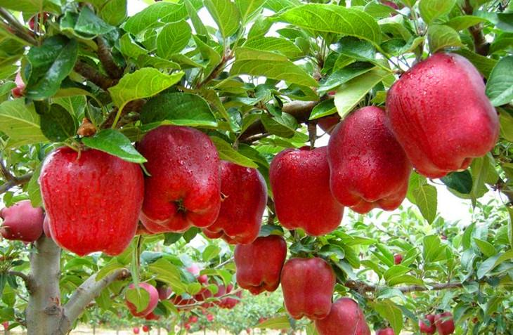 Trial Product Bonsai Apple Tree Seeds 50 Pcs Apple Seeds (used Wet Sand  Sprouting )fruit Bonsai Garden In Flower Pots Planters In Bonsai From Home  U0026 Garden ...