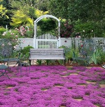 400 Creeping Thyme herb seeds,Ground cover garden decoration flower