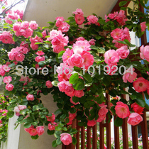 Most Beautiful Rose Online Shopping The World Largest Most