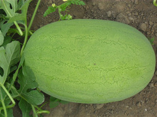 1 pack 6 seeds Fruit Seeds Shallow Pattern Long Watermelon Seeds Mature Flowering 80 days  free shipping