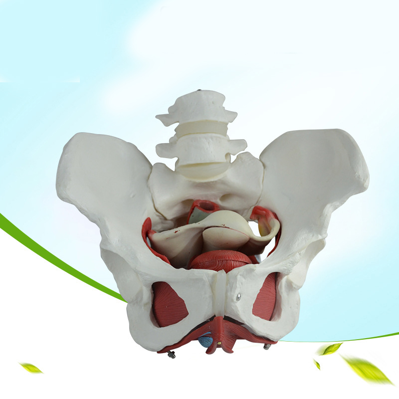 Female pelvic model pelvic bone medical female pelvic structure model human skeletons model female pelvic fetal model nine months of pregnancy fetus uterine embryo development model fetal development model gasen sz017