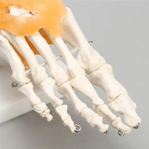 """Image 5 - """"인간의 1:1 해골 인대 발목 관절 해부학 의료 구조 조각상 고품질"""""""