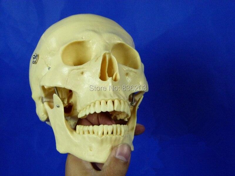 Human anatomy skeleton Life Size Deluxe Skull Model Orgal Heart ...