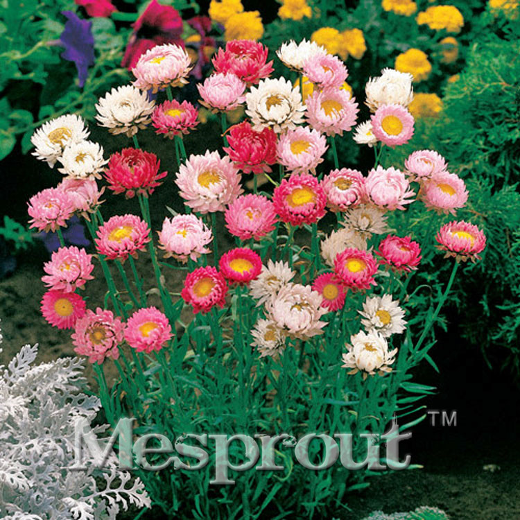 100PCS Mixed Color Helichrysum Bonsai Indoor / Outdoor Pot Bonsai Germination Rate Reach 95% Mix Color ,everlasting Daisy
