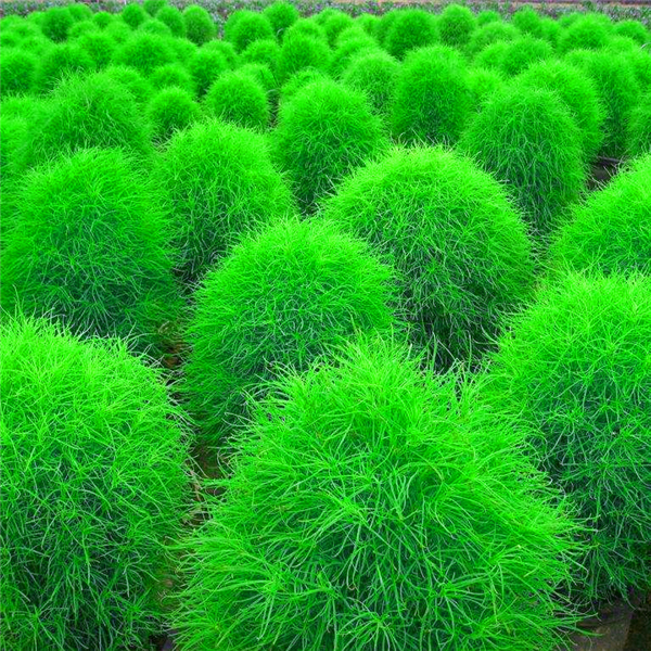 New Arrival ! Colorful Grass Bonsa Perennial Burning Bush Kochia Scoparia Grass 200 Pcs Ornamental Flower For Home & Garden