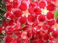 100 Genuine Santaclaus Adenium Obesum Seeds 100 SEEDS Bonsai Desert Rose Flower Plant Seeds