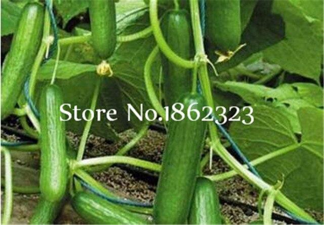 200 pz Rare Gusto Dolce Cetriolo piante di Perenne organic Bonsai Fiori per la Casa Cibo Più Popolari Verdure Non- OGM pianta