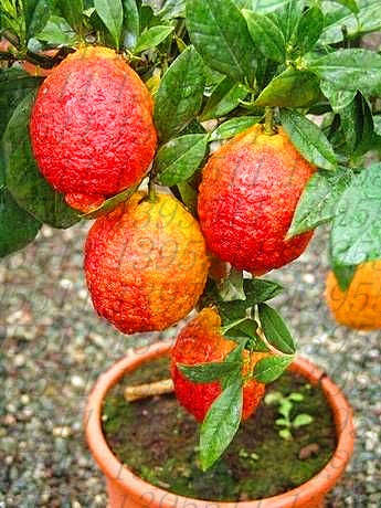 20 pcs/bag red lemon tree also is Blood Orange Organic fruit seeds bonsai red li
