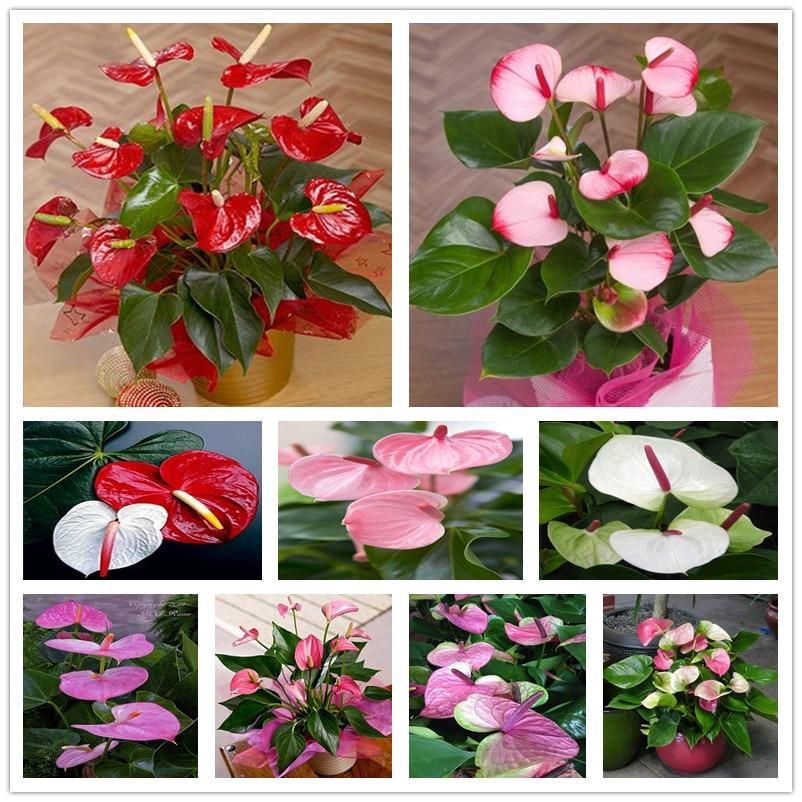 Novo 2017 sementes anthurium, varanda Bonsai sementes de flores, antúrio em vasos sementes de flores-150 pcs Para DIY jardim