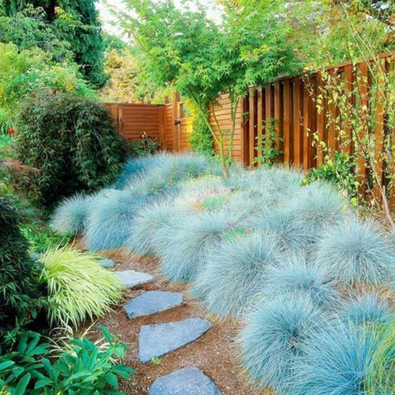 200 pcs Blue Fescue Grass bonsais - (Festuca glauca) perennial hardy ornamental grass so easy to grow