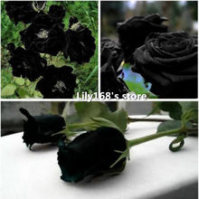 Free Shipping China Rare Black Rose Flower Seeds 10pcs High Quality Easy to Plant Family Garden Seeds La rosa negra Semillas(China)
