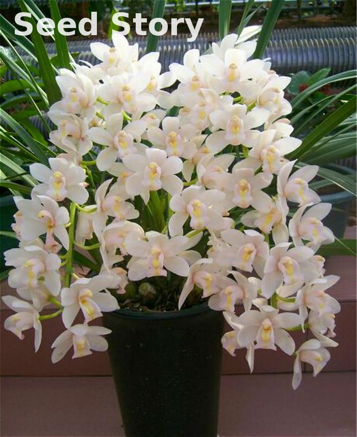 ⓪100 Pcs Chinese Cymbidium Orchid Flower Seeds Indoor Potted ...