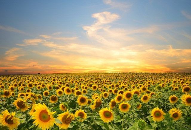 laeacco cloudy sky sunflower field landscape photography backgrounds