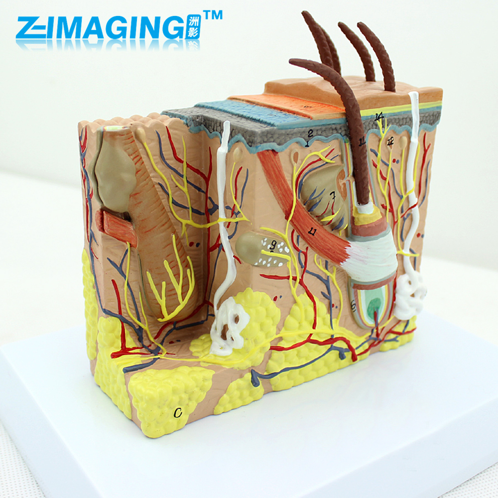Human skin tissue anatomical magnification model minimally invasive skin cosmetic plastic face model купить
