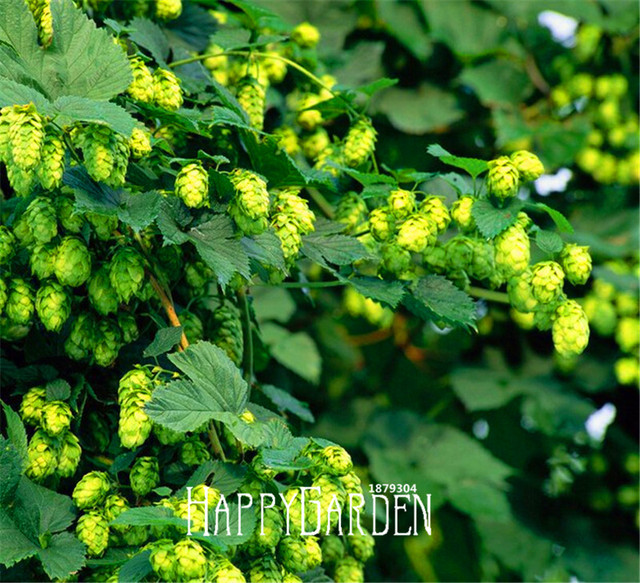 Big Sale!10Pcs/BAG HOPS * Humulus lupulus * bonsai * Brew Your OWN BEER Today * Returns Year After Year - Plants Form,#A09ST9