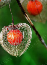 Gros physalis fruits en