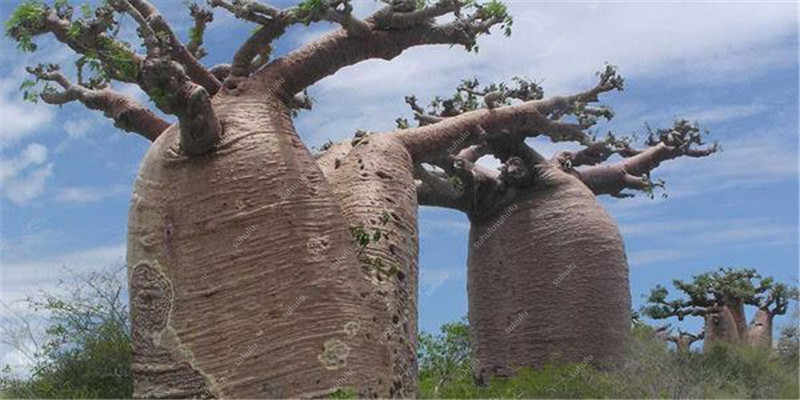 Bonsai 100 Pcs di Alta Qualità di Baobab bonsai Rare Tropicale Esotico Pianta Da Giardino Perenne bonsai Bella Enorme Tronco Piante