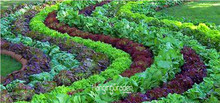 New Fresh Seeds 10 Pcs/Lot Italian Lettuce Seeds good taste , easy to grow, great salad choice ,DIY Home seeds vegetables,#3LIAE