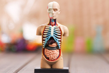 Human Anatomy model (musculoskeletal anatomical models 32pcs assemble) free worldwide shipping