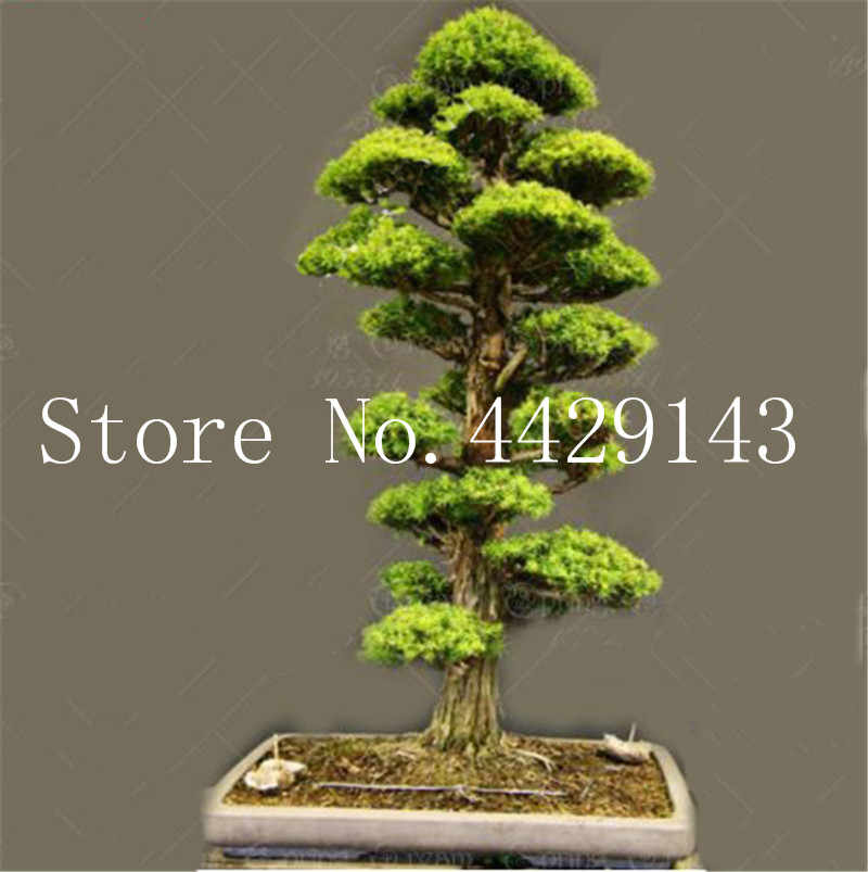 100% True Sacred Japanese Cedar tree bonsai plant fir potted plant, home gardens, Free Shipping 20 Semillas