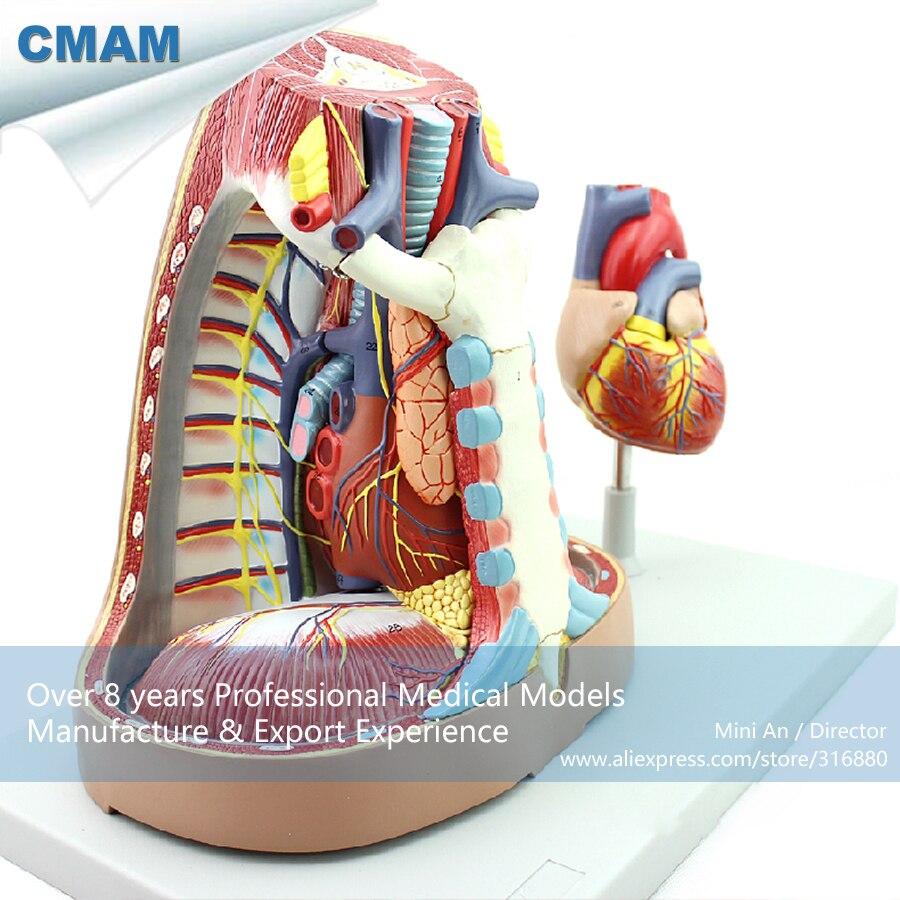 CMAM-HEART14 Life Size 5-Parts Mediastinum Anatomy Model, Medical Science Educational Teaching Anatomical Models cmam heart02 new medical anatomical heart model in 2 parts anatomy models heart models