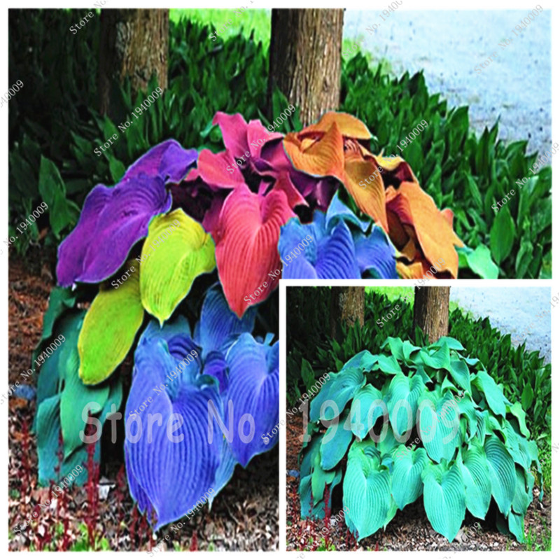 100pcs Bag Coloful Hosta Plants Perennials Lily Flower