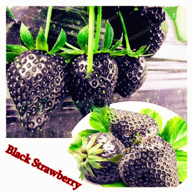Black Strawberry Seeds Good Taste Fruits Healthy Fresh Exotic Seeds Easy Care Bonsai Plants For Home Garden 500 Seeds