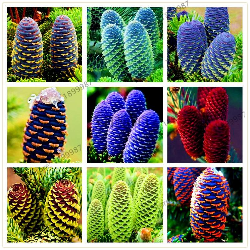 Stycke / väska 100 Koreanska Abies floresgran, Nordmann gran (julgran, barrträd) plantas Tree. Hus Trädgård Växter Bonsai Plante