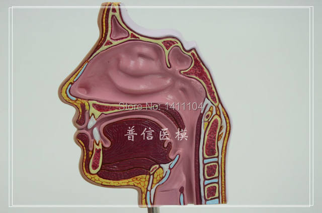 Online Shop Free Shipping11nasal Cavity Nasal Anatomy Nose Model