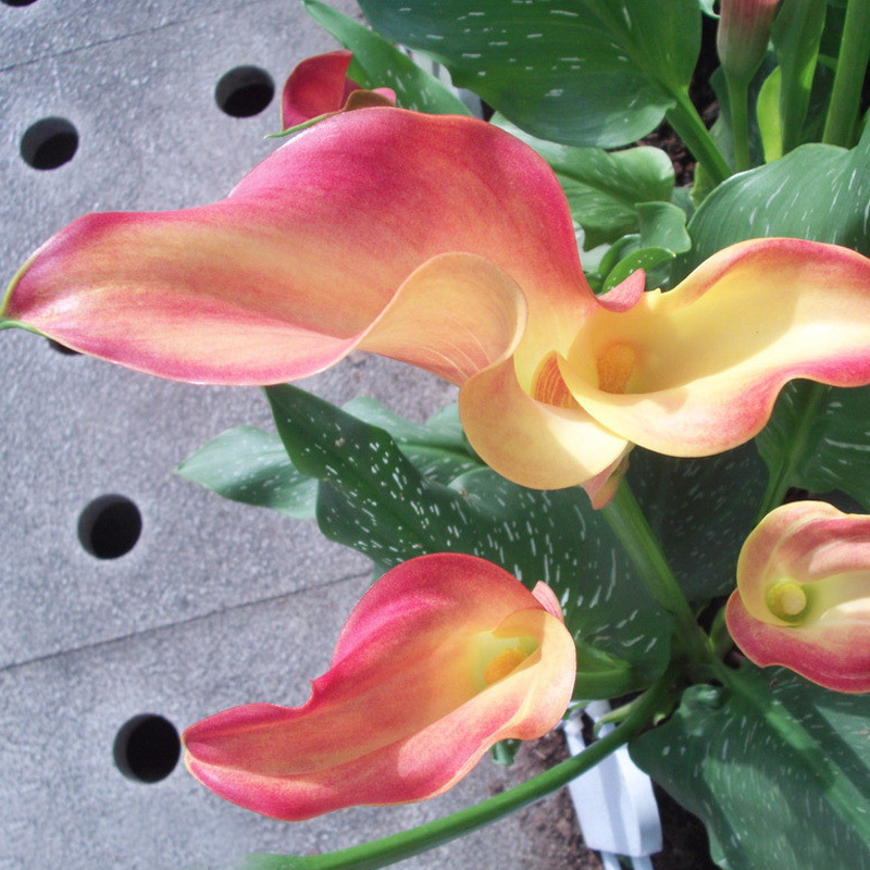 Hot Sale Rare Unreal Color Calla Seeds Balcony Potted Bonsai Patio Plant Seeds Aethiopic ...