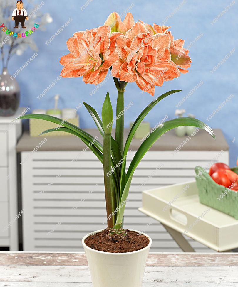 Лучшие продажи 50 шт. белый амариллис семена Гиппеаструм семена дешевые многолетнее Барбадос лилии (не лампы) терраса на крыше