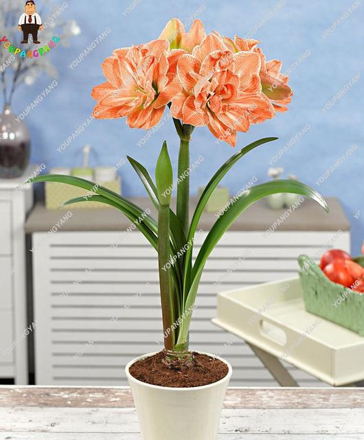 Best Selling 50 Pcs White Amaryllis plants Hippeastrum plants Cheap Perennial Barbados Lily plants (not Bulbs) Roof Terrace