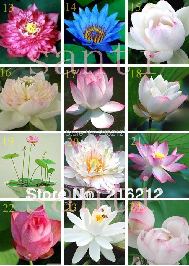 venta de semillas de flor de loto