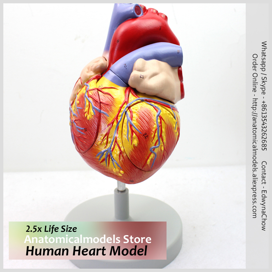 Freeshipping Enlarge 2.5x Life Size Medical Anatomy Human Heart Model, HEART04 plastic standing human skeleton life size for horror hunted house halloween decoration